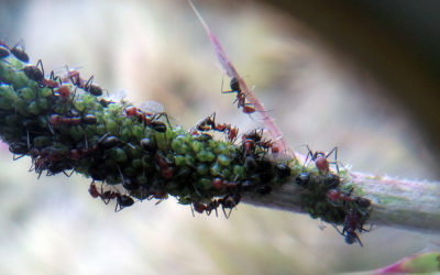 GOOD OR BAD GUESTS? ROLE OF MELIVOROUS ANTS AND APHIDS ON THE FITNESS OF THISTLES